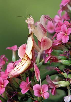 Orchid Praying Mantis Photograph - Orchid Mantid Hymenopus Coronatus by Robert Jensen