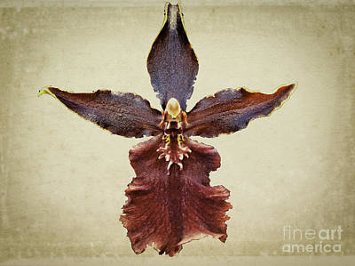 Orchid On Parchment Print by Scott Mullin