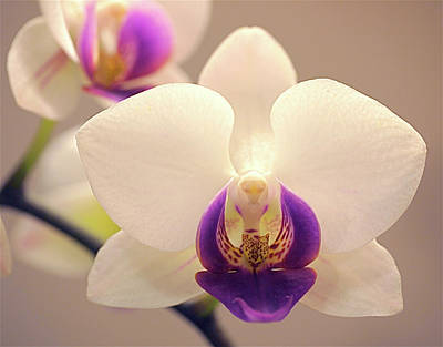 Moth Orchid Photograph - Orchid by Rona Black