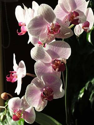 Orchids Photograph - Orchid Tropical Blooms by Rebecca Overton