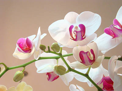 Orchids Pink White Floral Art Prints Print by Baslee Troutman