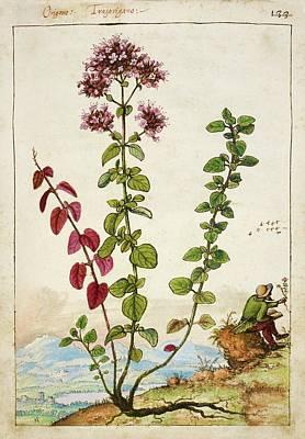 Oregano (origanum Sp.) Print by British Library