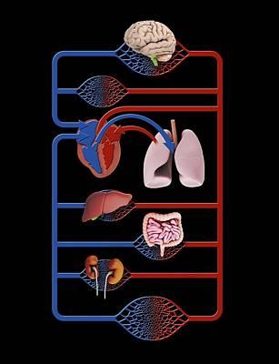 Organs And Blood Circulation Print by Mikkel Juul Jensen
