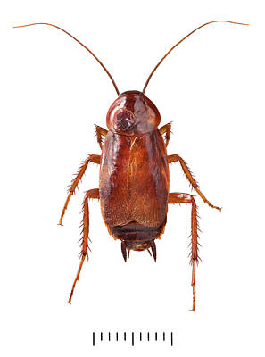 Cockroach Photograph - Oriental Cockroach by Natural History Museum, London