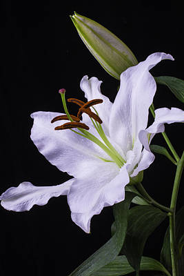 Oriental Lily Print by Garry Gay