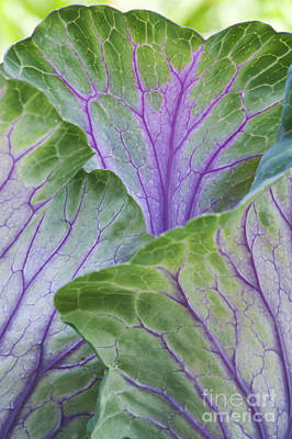 Brassica Oleracea Photograph - Ornamental Cabbage Leaves by Tim Gainey