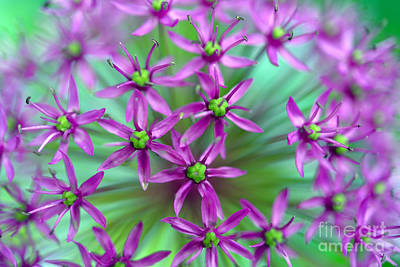 Ornamental Onion - Purple Sensation Print by Terry Elniski