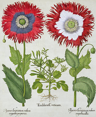 Poppies Drawing - Ornamental Poppies, From The Hortus by German School