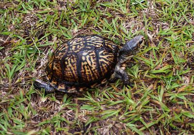 Box Turtle Print by Mechala  Matthews