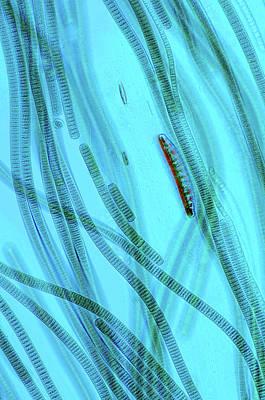 Microorganism Photograph - Oscillatoria Cyanobacteria by Marek Mis