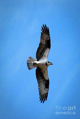 Eagle Photograph - Osprey by Crystal Wightman