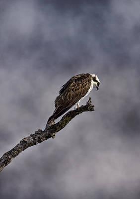 Osprey Digital Art - Osprey by Ellen Heaverlo