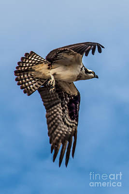 Haybales Photograph - Osprey Flying Away by Robert Bales