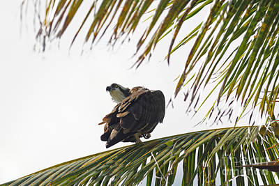 Osprey In Sanibel Print by Natural Focal Point Photography