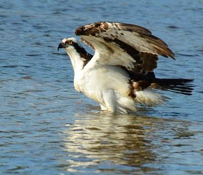 Photograph - Osprey In Water by Patty MacInnis
