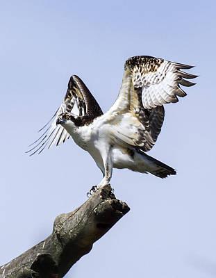 David E Lester Photograph - Osprey Pride 6 by David Lester