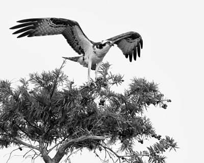 Osprey - Ready To Take Off Print by Nikolyn McDonald