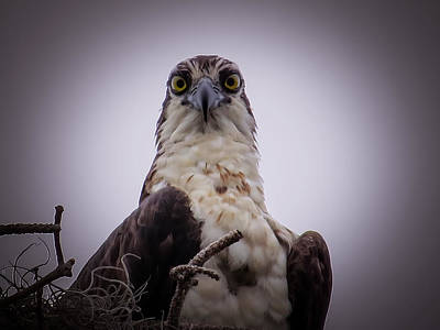Osprey Photograph - Osprey Watching I by Zina Stromberg