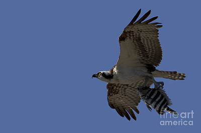 Metal Fish Art Photograph - Osprey With Breakfast by Meg Rousher