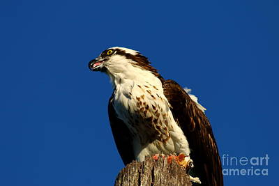 Osprey With Dinner Leftovers Print by Christiane Schulze Art And Photography