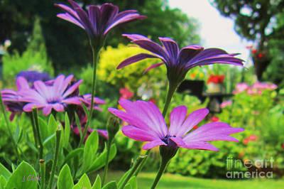 Osteospermum Photograph - Osteospermum  by John Clark