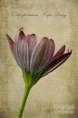 Osteospermum With Textures Print by John Edwards