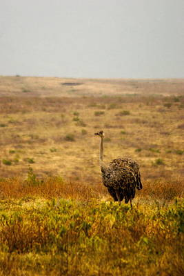 Ostrich  Original by Marc Levine