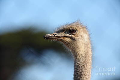 Ostrich Photograph - Ostrich 5d27027 by Wingsdomain Art and Photography