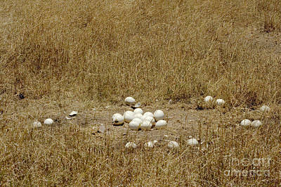 Ostrich Photograph - Ostrich Eggs At Nest Site by Gregory G. Dimijian, M.D.