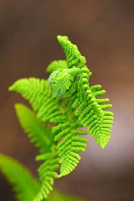 Ostrich Fern Print by Christina Rollo