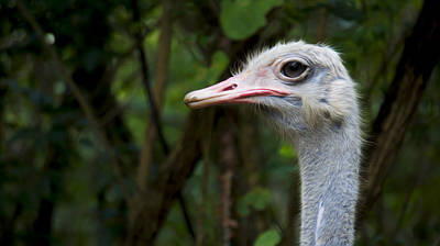 Emu Photograph - Ostrich Head by Aged Pixel