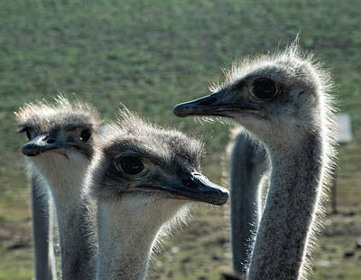 Ostrich Round-up Original by Photos By Pharos