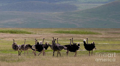 Ostriches   #0167 Original by J L Woody Wooden