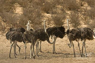 Ostrich Photograph - Ostriches by Bob Gibbons