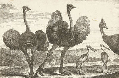 Spoonbill Painting - Ostriches, Cassowary And Spoonbill, De Poilly by De Poilly