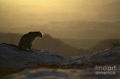 Panther Photograph - Outlook by Wildlife Fine Art