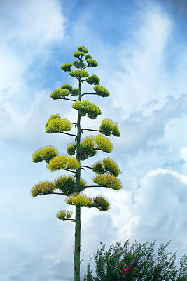 Outstanding Blooming Agave Plant Print by Linda Phelps