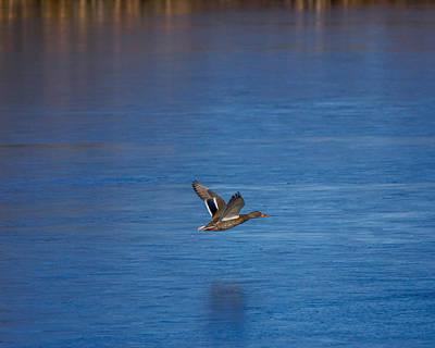 Ducks In Flight Photograph - Over Frozen Pond by Ernie Echols