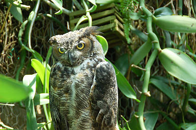 Green Photograph - Owl Portrait 3 by Aimee L Maher Photography and Art Visit ALMGallerydotcom