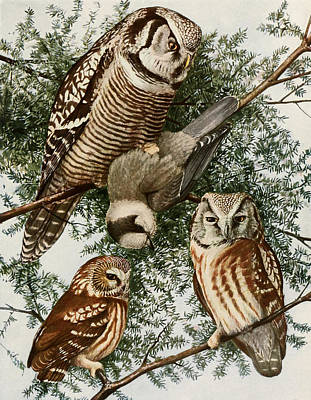 Owls Print by Louis Agassiz Fuertes