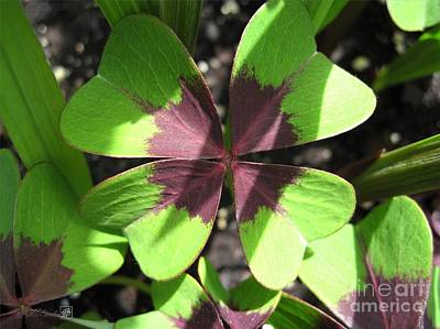 Mccombie Photograph - Oxalis Deppei Named Iron Cross by J McCombie