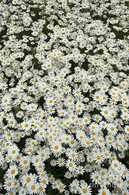 White Daisy Photograph - Oxeye Daises by Tim Gainey