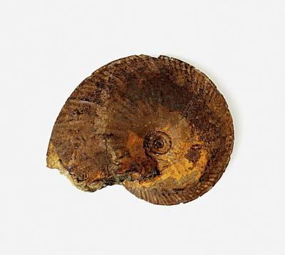 Ammonite Photograph - Oxyoticeras Oxynotum Ammonite Fossil by Dorling Kindersley/uig