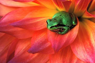 Pacific Chorus Frog On Dahlia Print by Jaynes Gallery