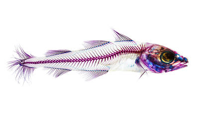 Skeleton Photograph - Pacific Cod by Adam Summers
