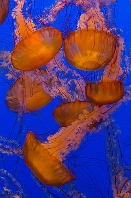 Sea Life Photograph - Pacific Sea Nettle Cluster 2 by Scott Campbell