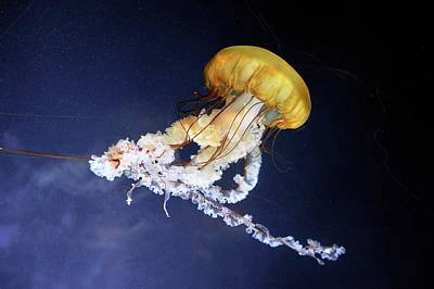 Pacific Sea Nettle Jellyfish Print by Bildagentur-online/mcphoto-schulz