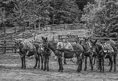 Tommytrout Photograph - Pack Mules by Thomas Young