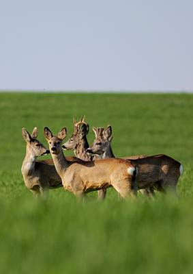 Photograph - Pack Of Roe Deer by Dragomir Felix-bogdan