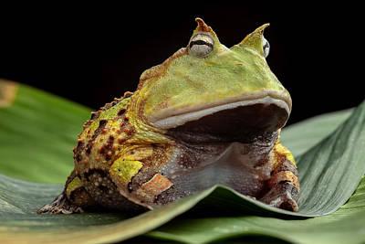 Pacman Photograph - Pacman Frog  by Dirk Ercken